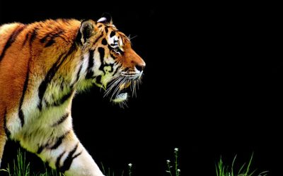 Your body can't tell the difference between a Tiger and an Exam…